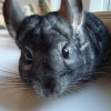 Chinchilla avatar